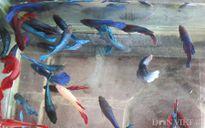 Hớt cá lia thia - kỷ niệm một thời thơ ấu!