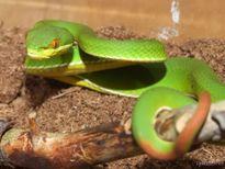 Hãi hùng trước những loài rắn cực độc ở Việt Nam