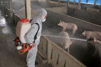 Khử trùng chuồng trại thường xuyên để tăng năng suất chăn nuôi lợn