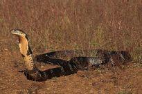 Đến nơi rắn hổ mang chúa khổng lồ sống thành vương quốc