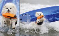 Tròn mắt xem các 'vận động viên' chó lướt sóng
