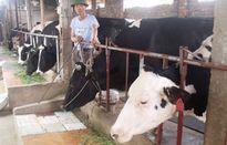 Sữa bột nhăm nhe 'hạ gục' bò sữa Hà Nội