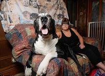 Những chú chó có chiều cao, cân nặng 'khủng' nhất thế giới