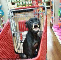 Nghị lực khó tin của chó có khuôn mặt ác quỷ