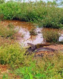 Trăn lớn nuốt chửng cá sấu khổng lồ