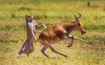 Ảnh động vật đẹp nhất tuần: Báo đói truy sát linh dương
