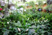 Vườn treo xanh mướt trên mái nhà ở Hà Nội