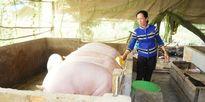 Cà Mau: Giá heo giảm mạnh, người nuôi đập chuồng