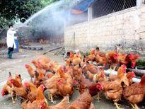 Xuất hiện ổ dịch cúm A/H5N6 trên đàn gia cầm tại Lào Cai