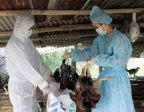 Phát hiện ổ dịch cúm A(H5N1)