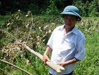 Quảng Bình: Dân bức xúc khi cây cao su bị đốn ngang gốc