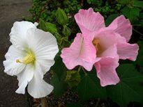 Chữa viêm tuyến vú bằng hoa phù dung
