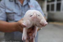 Lợn hai đầu kỳ dị tiếp tục xuất hiện tại Trung Quốc