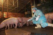 """Tiền Giang đưa 52 mẫu """"nghi"""" có chất cấm trong đàn lợn đi kiểm nghiệm"""