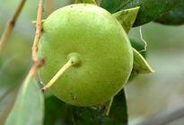 Người phụ nữ nghèo biến quả cây dại thành đặc sản xuất khẩu