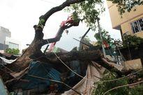 TP. HCM: Hoảng hồn cây me tây 100 năm tuổi đè sập nhà dân