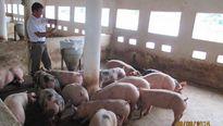 Tỷ phú chăn nuôi ở 'thủ phủ vải thiều'
