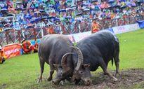 Lễ hội chọi trâu Đồ Sơn 2015