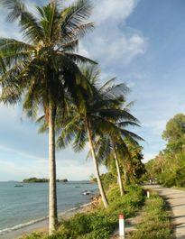 """Trồng dừa làm cây xanh đô thị ở TPHCM dễ phải """"trả giá""""!"""