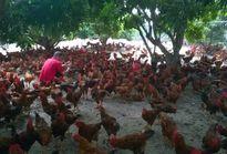 Tương lai gà trắng, gà màu: Công nghiệp gà màu