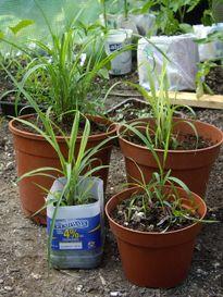 Kỹ thuật trồng cây sả đuổi muỗi tiện dụng cho mọi nhà