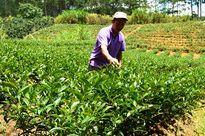 'Sét đánh ngang tai' nông dân trồng chè Lâm Đồng