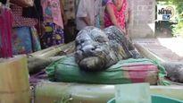 Nghé quái thai có đầu hình cá sấu ở Thái Lan