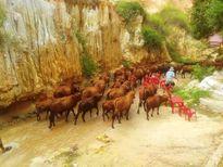 Bình Thuận: 160 con bò gây náo loạn suối Tiên