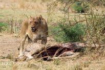 Hãi hùng cuộc chiến săn mồi đẫm máu của sư tử và hươu cao cổ