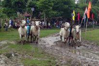 Tưng bừng lễ hội đua bò Bảy Núi An Giang của đồng bào Khmer