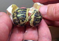 Giải cứu thành công một cặp rùa song sinh nở cùng trứng