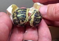 Cận cảnh cặp rùa sinh đôi cực hiếm vừa chào đời