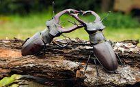 Ảnh động vật tuần: Bọ cánh cứng quyết chiến ác liệt