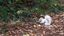 Cận cảnh sóc trắng đột biến cực hiếm mới xuất hiện