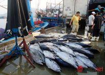 Đà Nẵng: Ngư dân hành nghề lưới vây trúng mùa cá ngừ
