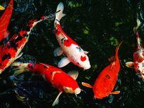 Quy trình sinh sản cá chép Koi