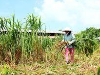 Bỏ trồng lúa để nuôi cá, trồng cỏ voi