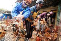 Chủ động phòng chống cúm gia cầm tại Hà Nội