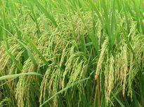 Hỗ trợ nông dân thâm canh lúa thơm chất lượng cao