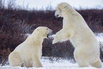 Gấu Bắc cực giao đấu như võ sĩ chuyên nghiệp