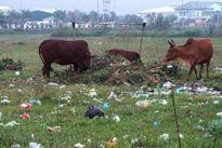 Hàng trăm héc-ta đất vàng bỏ hoang thành nơi chăn bò, đổ rác