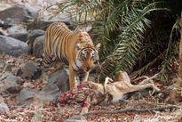 Những khám phá gây sốc về loài hổ hoang dã