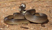 """""""Sát thủ"""" rắn với nọc độc kinh hoàng có thể khiến bạn chết trong tích tắc"""