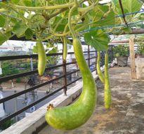 Bác sĩ viện Ung bướu chia sẻ bí quyết trồng rau sạch tại nhà