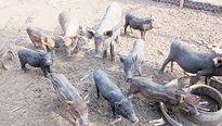 Đắt hàng lợn thả vườn, nghe nhạc giao hưởng