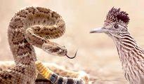 """Kinh hãi gà lôi """"làm thịt"""" rắn đuôi chuông trong tích tắc"""