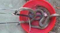 Những cú hoảng hồn vì rắn trong năm qua