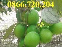 Trồng thành công giống táo mới trong chậu cho nhiều trái
