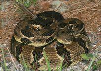 Rắn chuông - loài rắn cực độc gây khiếp sợ khắp thế giới