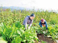 Bón phân Văn Điển cho vùng trồng rau an toàn